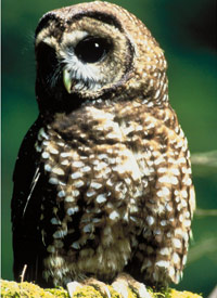 The endangered spotted owl (Fish & Wildlife Service)
