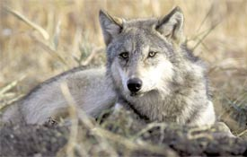 The U.S. Fish and Wildlife Service proposed a rule delisting the Northern Rocky Mountain gray wolf from the federal list of Endangered and Threatened Wildlife (Photo: John and Karen Hollingsworth/USFWS)