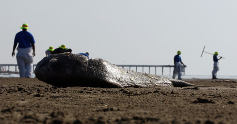 Workers contracted by BP clean oil from the beach with a dead fish in the foreground at Louisiana's Grand Isle East State Park on May 27, 2010. (Win McNamee/Getty Images)