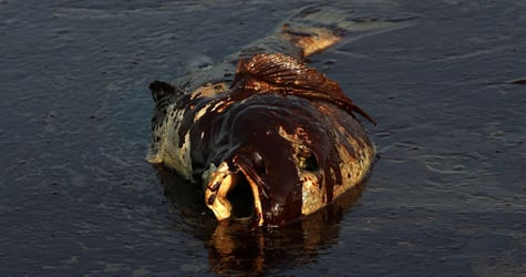 A dead fish coated in heavy oil floats near East Grand Terre Island, La., on June 4, 2010. (Win McNamee/Getty Images)