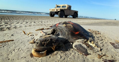A dead turtle is seen on the beach as a Louisiana National Guard vehicle passes by on May 10, 2010, in Lafourche Parish, La. (Joe Raedle/Getty Images)