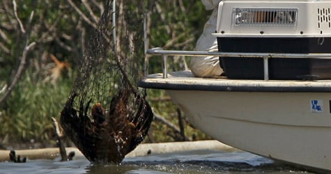 A bird rescue team captures an oiled pelican for cleaning on Cat Island in Barataria Bay on June 6, 2010, near Grand Isle, La. (Win McNamee/Getty Images)