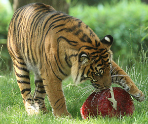 A Sumatran tiger plays with a block of frozen meat in his habitat on June 9, 2008 at the National Zoo in Washington, D.C. (Karen Bleier/AFP/Getty Images)