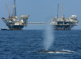 An endangered blue whale swims near offshore oil rigs near Long Beach, Calif. (David McNews/Getty Images)