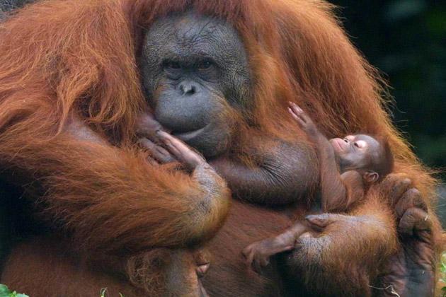 Dog And Orangutan Best Friends Snopes