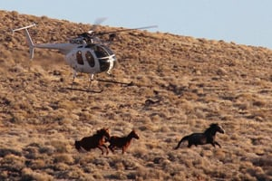 A helicopter rounds up horses in the Stone Cabin Valley of Nevada in the winter of 2012. (Dave Philipps)