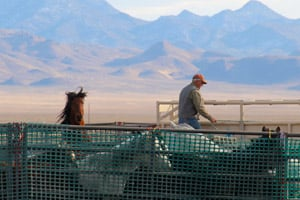 Freshly captured horses in the Stone Cabin Valley of Nevada wait in a BLM corral to be trucked to the holding system. (Dave Philipps)